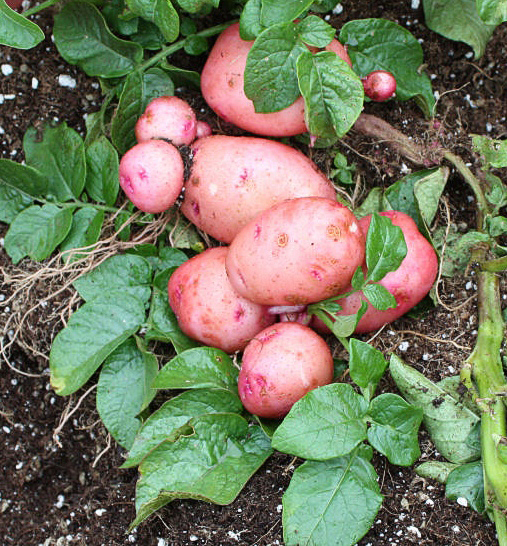 Freshly dug 'Red Pontiac' potatoes are a variety recommended for high yield in Maine gardens.