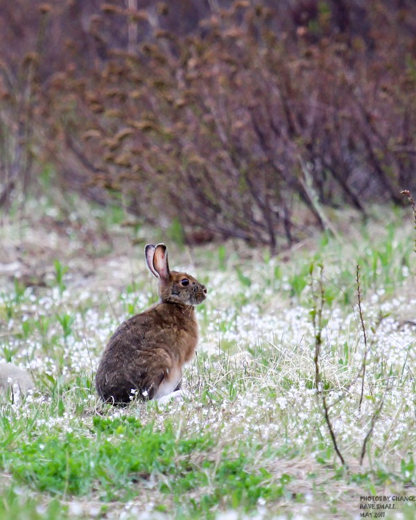 A snowshoe hare shows off his summer coat at Sunkhaze Meadows