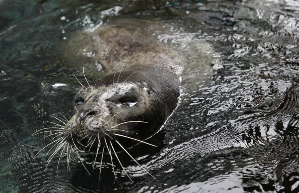 Smoke, one of the oldest harbor seals in captivity in the U.S., at the Aquarium in Boston Thursday, May 19,  2011.