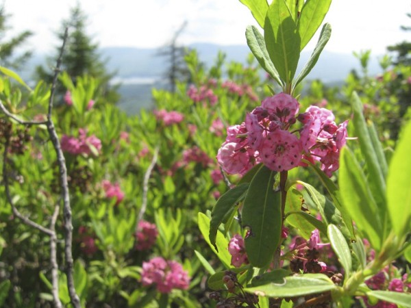 Sheep laurel grows at higher elevations like this specimen at around 2,200 feet on Pleasant Pond Mountain in Caratunk.