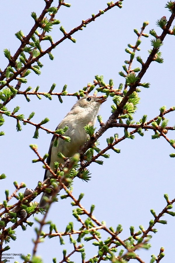 A hike during the week of May 9 in the Roland F. Perry, Bangor City Forest this warbling vireo sat still long enough to be photographed.