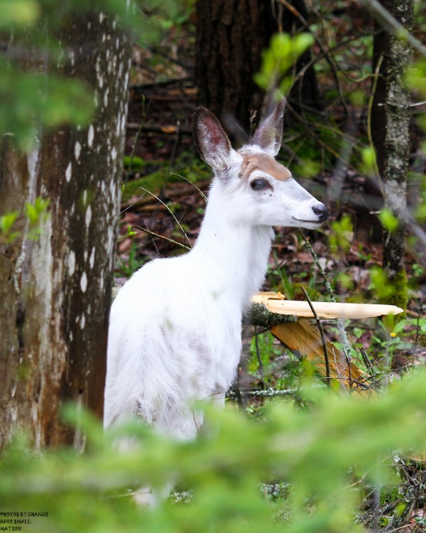 Leucistic white-tailed doe