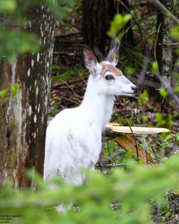 Leucistic white-tailed doe