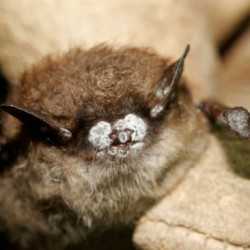 Penobscot Valley Chapter of Maine Audubon Presents Nature Night @ The Sea Dog: Bats and Brews