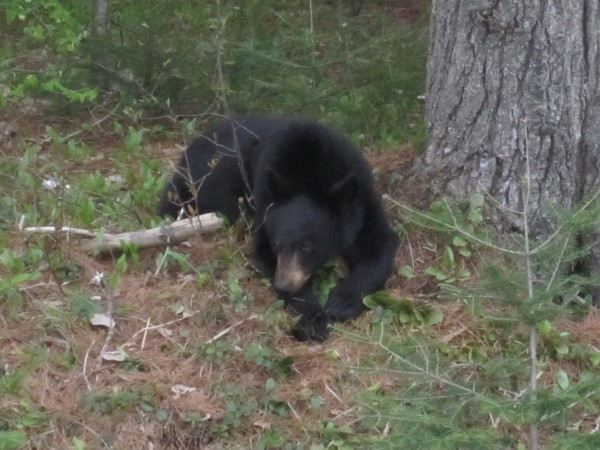A yearling black bear appears to be awaiting its next handout just off the Charlotte Road in Baring, where passersby have stopped their cars to take pictures and feed it. Officials from the Moosehorn National Wildlife Refuge are warning people that bears can be dangerous and to stop feeding the animal.