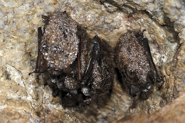 A cluster of little brown bats with white-nose syndrome.