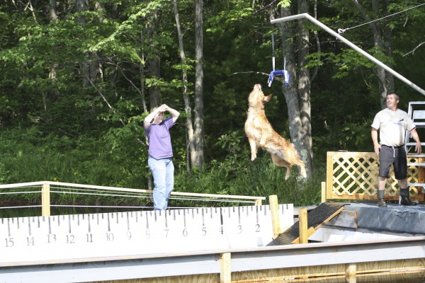 Hydro, a golden retriever, does extreme vertical.