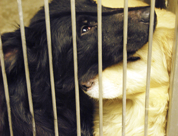A black Labrador retriever and a golden retriever who are among the six dogs rescued from an Enfield home by state officials were resting comfortably in the Penobscot Valley Humane Society in March 2010.