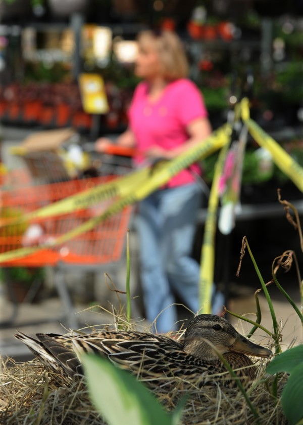 A female mallard duck sits on seven eggs on Tuesday, May 31, 2011, waiting for hatchlings as customers browse plants and flowers in the lawn and garden section of the Bangor Home Depot store.This is the second year the duck has returned to nest in the lawn and garden section.