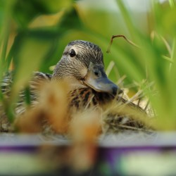Mother duck hatches ducklings in flower box on Kenduskeag Stream footbridge