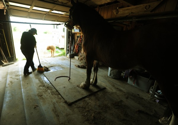 Jenn Winchester sweeps up horse hair from Zeke her rescued Throughbred Clydesdale mix while waiting for farrier Kathrine Horesy to arrive at her Spirit of Hope horse rescue farm in Winterport on Thursday, May 13, 2011.