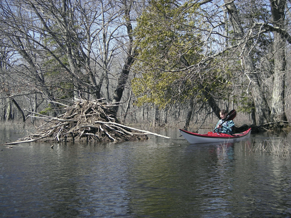 Barb Todd of Orrington paddles near a beaver lodge during spring high water.