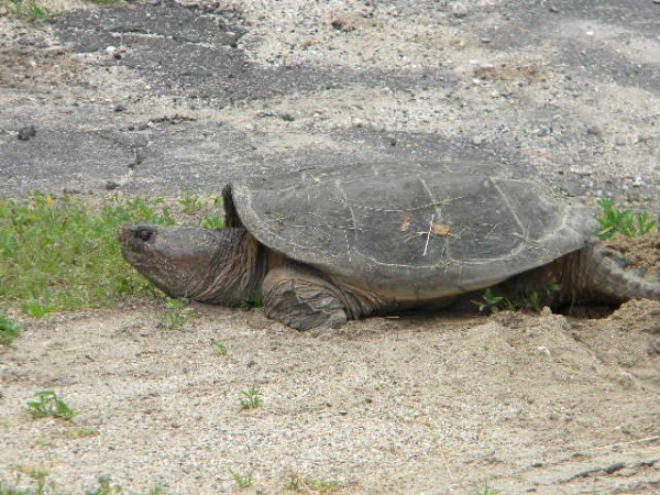 South Rumford snapping turtle