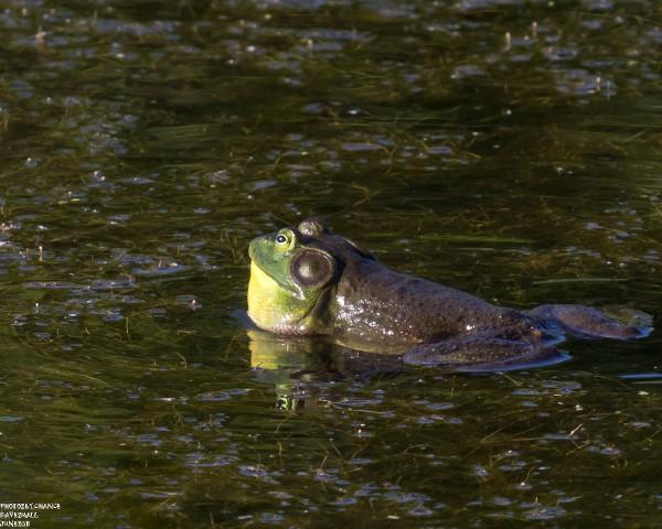 Bull frog (ready to croak)