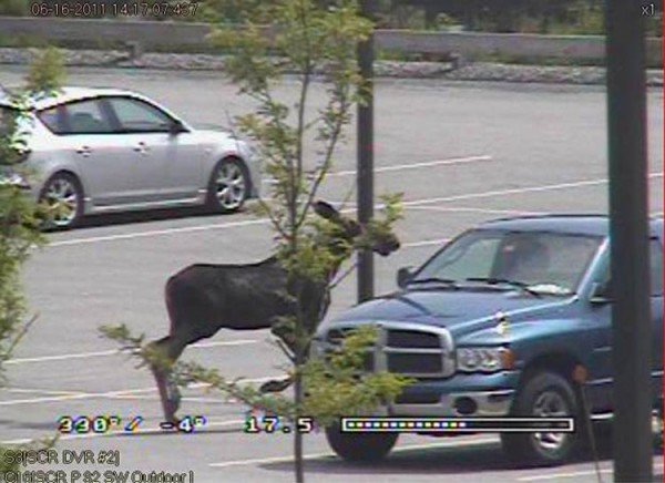 A moose visited the parking lot of Cabela's in Scarborough.