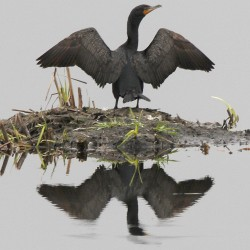A cormorant dries its wings on Tuesday, May 17, 2011 in Calais, Vt.