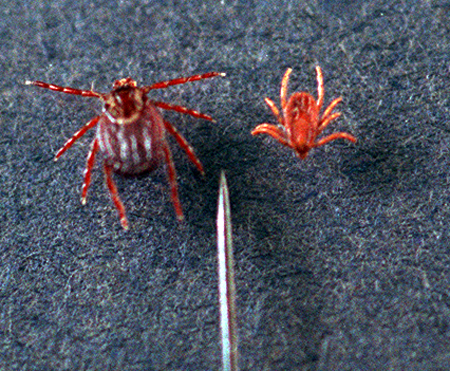 Many people are unaware of being bitten by the deer tick (right). At the highly infectious nymphal stage (left), the deer tick is about the size of a period at the end of a sentence.