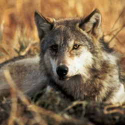 A gray wolf is shown in this undated file photo. A federal proposal to remove wolves in Midwestern states from the Endangered Species Act is causing alarm in Maine among wildlife advocates who fear the delisting also could end legal protections for wolves in the Northeast — if they exist, that is. Earlier this spring, the U.S. Fish and Wildlife Service announced that gray wolf populations in Minnesota, Wisconsin, Michigan and other Great Lakes states had rebounded to the point where the animals may no longer merit federal protection.