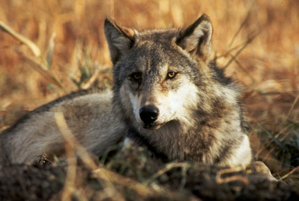 A gray wolf is shown in this undated file photo.