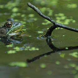 A green frog surfaces in a vernal pool in Orono.