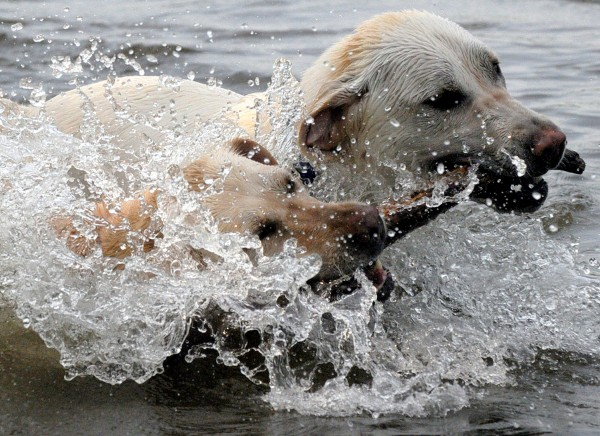Two Labrador retrievers named Faith and Luke splash around while tugging on a stick tossed by owner Debra Nessing of Vernon, Conn., Wednesday afternoon, June 8, 2011, as they cool off from a temperatures that reached into the 90s at Bolton Lake.