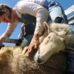 More than business: Wiscasset family's sheep shearing, farming is way of life