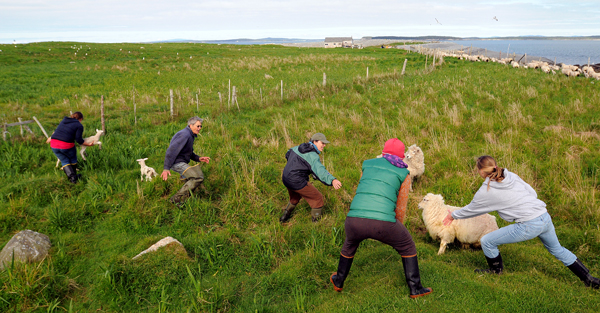 "People try to cut off the ""escape route"" of a few sheep that did not follow the flock into the pens as they were gathered for shearing on Big Nash Island on Saturday."