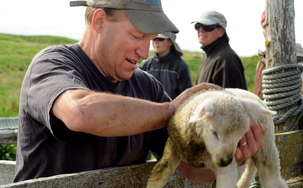 Alfie Wakeman puts a lamb into a pen on Big Nash Island during their traditional shearing day Saturday.