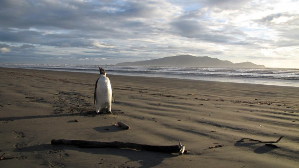 In this June 20, 2011 photo released by New Zealand's Department of Conservation,  an Emperor penguin walks along Peka Peka Beach in New Zealand after it got lost while hunting for food.  The young Antarctic Emperor penguin has taken a rare wrong turn and ended up stranded on a New Zealand beach.