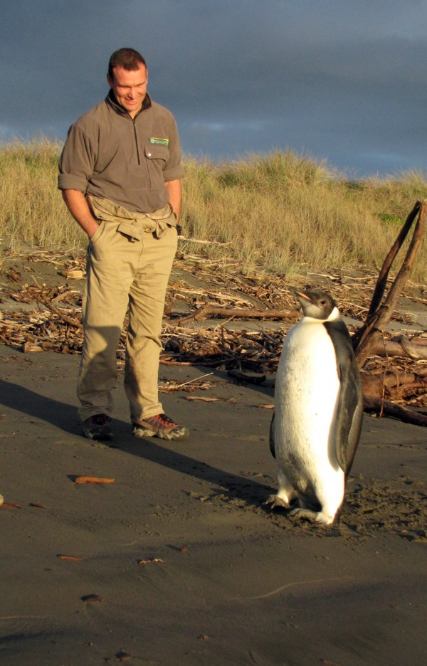 In this June 20, 2011 photo released by New Zealand's Department of Conservation,  ranger Clint Purches watches an Emperor penguin as he walks along Peka Peka Beach in New Zealand, after it got lost while hunting for food.  The young Antarctic Emperor penguin has taken a rare wrong turn and ended up stranded on a New Zealand beach.