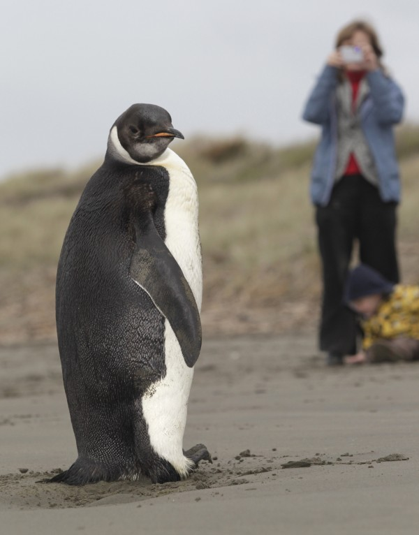 In this photo taken Tuesday June  21, 2011, a woman photographs an Emperor penguin on Peka Peka Beach of the Kapiti Coast in New Zealand. Emperor penguins typically spend their entire lives in Antarctica and almost never make landfall near humans, with the last sighting in New Zealand being more than 44 years ago.