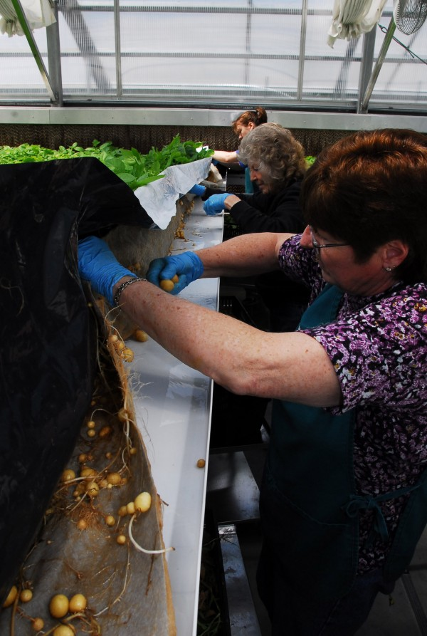 Joan Whipple, Gloria Russell and Jerica Fox work in one of the Porter Seed Farm's greenhouses in Masardis, harvesting some of the mini-tubers grown there to be used to grow seed potatoes.