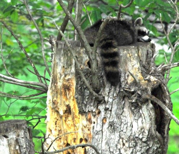 Mom raccoon takes a lounge on top of the cut-off willow tree, about 20 feet up, during the last week of May.