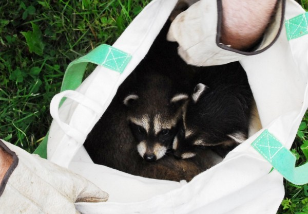 Pulled out of their snug burrow high up in an old willow, four raccoon kits huddle together in a sack.