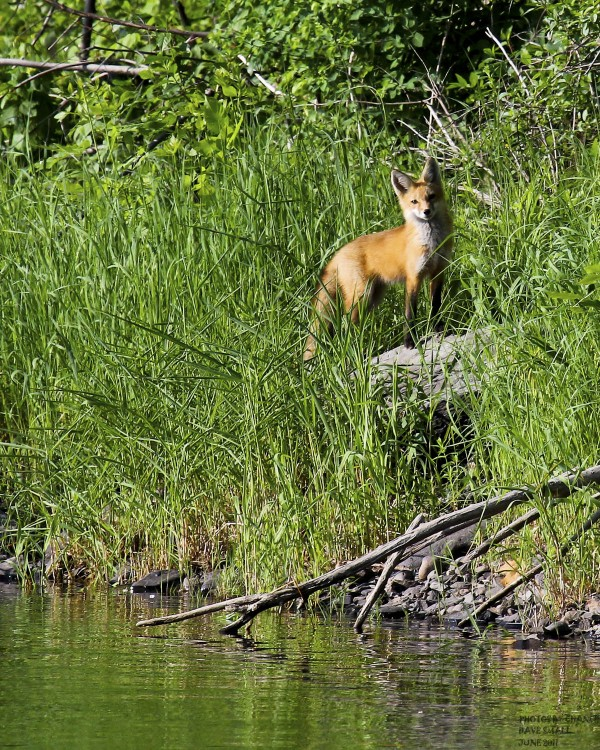 While on a bike ride last Sunday morning along the Penobscot River in Old Town photographer Dave Small had the opportunity to capture this image of a red fox that he had been seeing from across the river for weeks.