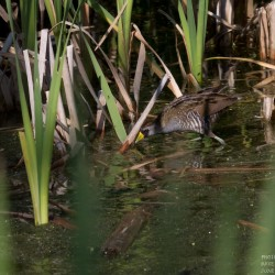 Colorful sora rails are common, but seldom seen