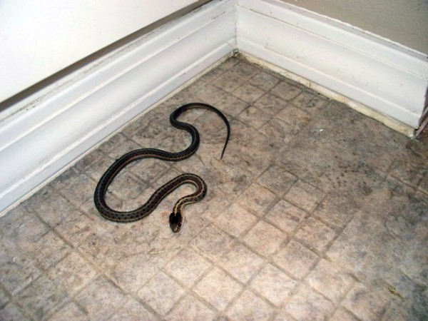 In this Fall 2009 picture provided by Amber Sessions, a snake that the Sessions family caught is seen at the home they purchased near Rexberg, Idaho. The five-bedroom house on a nearly 2-acre lot in the eastern Idaho countryside the Sessions bought in 2009 seemed like a steal at $178,500. But it wasn't long before the couple realized the dream home they had purchased for their growing family was their worst nightmare: It was infested with hundreds upon hundreds of garter snakes.
