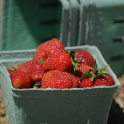 Getting started with June-bearing strawberries