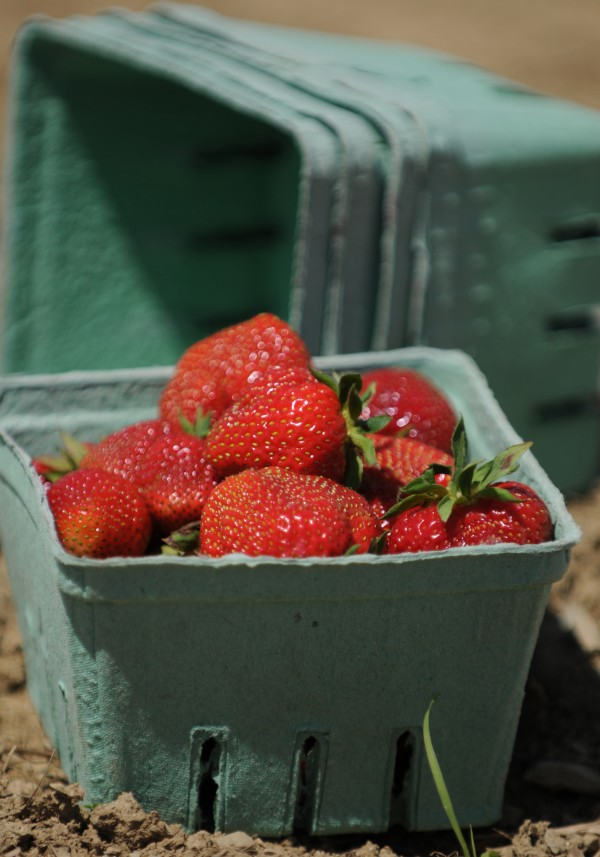 A box of strawberries await pick up at the edge of a field after being picked at Tate's Strawberry Farm in Corinth on Monday, June 20, 2011. Tate's currently offers road side stand service only, with the fields being opened to the public on June 29. Owner Albert Tate says he's going to be open in the mornings only, from 6- 12 to start, until he sees how the yield on this year's crop is producing. If all goes as planned he hopes to have strawberries through July 10th.