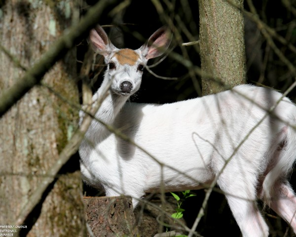 White-tail doe (leucistic)