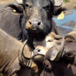 Solon couple's buffalo herd keeps health-conscious eaters happy
