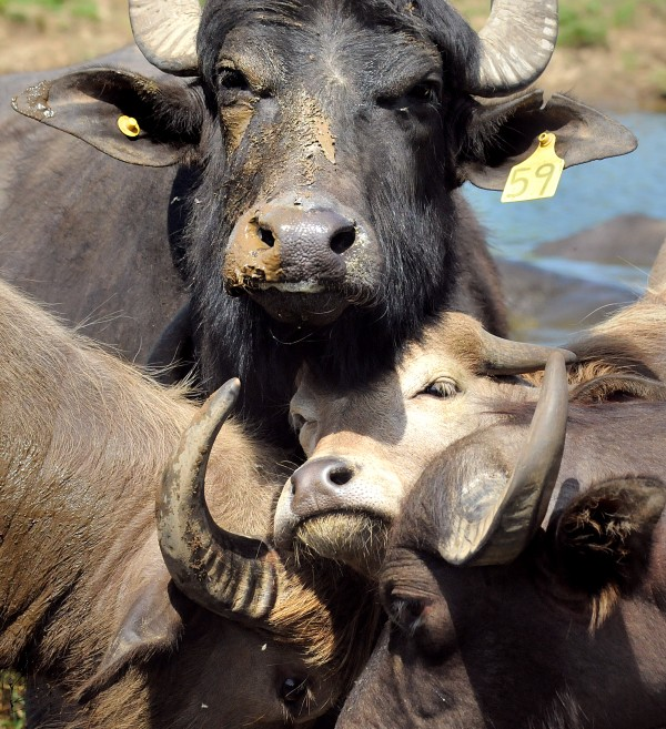Animals at the ME Water Buffalo Co. farm in Appleton. Jessica and her husband Brian started the farm in 2008 and now sell meat at farmer's markets, restaurants and stores in the midcoast area.
