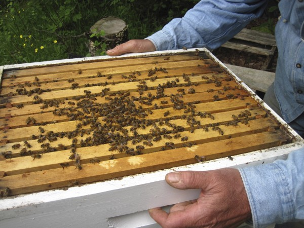 By working slowly and calmly with bees, a practiced beekeeper is able to tend a  hive with minimal protective gear.