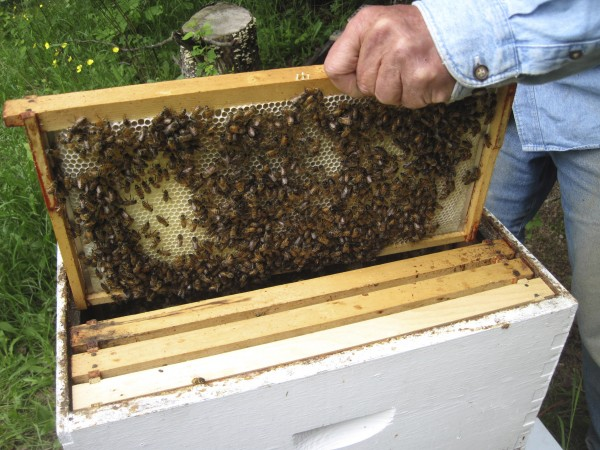 Once the hive is inspected, the frames — and bees — go back into the hive and  back to work.