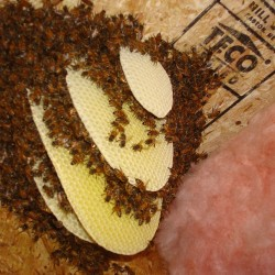 Down East home swarmed by about 30,000 bees