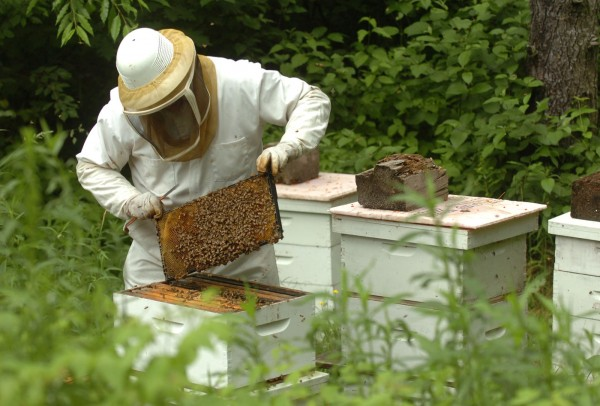 Beekeeper Peter Cowin of Hampden searches for the queen bee from an infestation which he removed from a Lubec home on Saturday, June 25, 2011. After spending about two hours removing the bees, Cowin then relocated them to his own property and plans to merge them with another bee colony which has lost its queen.