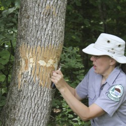 On the lookout for the emerald ash borer