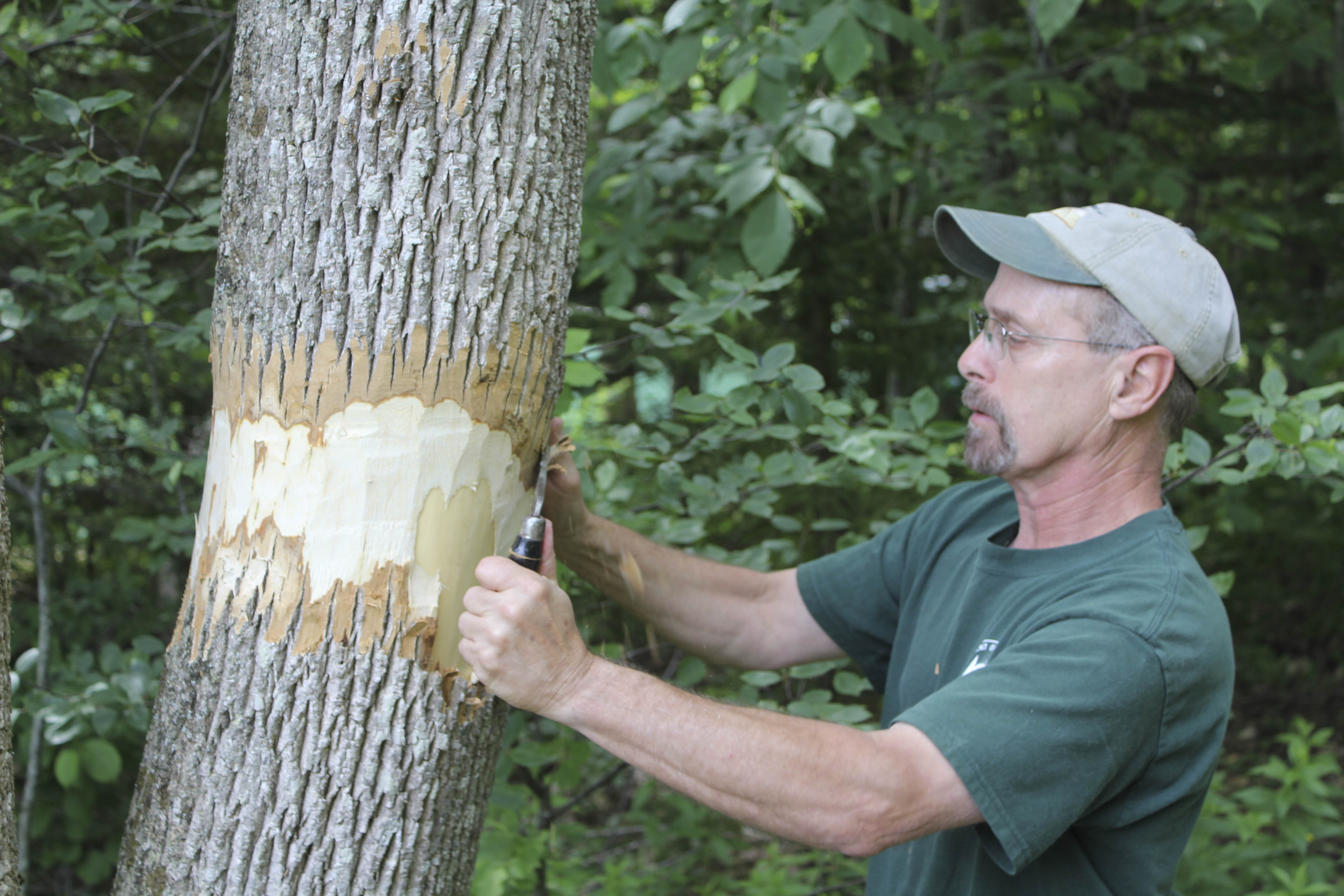 Peter Carpenter, a Camden Hills State Park ranger, scrapes bark off an ash tree. This will distress the tree and cause it to secrete chemicals that are attractive to emerald ash borers. This way state biologists will know if there are any of the invasive species in the area.