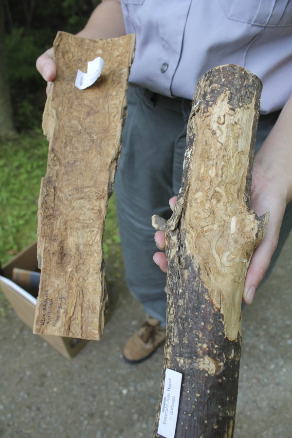These pieces of wood show how the emerald ash borer eats at ash trees. Several native-to-Maine bug species also make these types of slither formations, but those bugs only do so to dead trees. The borer will attack a live ash in this fashion.