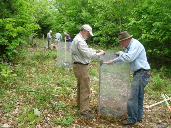 A wire mesh fence is placed around an already planted seedling to protect it from animals. The planting, in conjunction with The American Chestnut Foundation, is part of an effort to restore the American chestnut which was ravaged by blight more than a century ago.